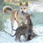 オーストラリアの有名な動物「ディンゴ」